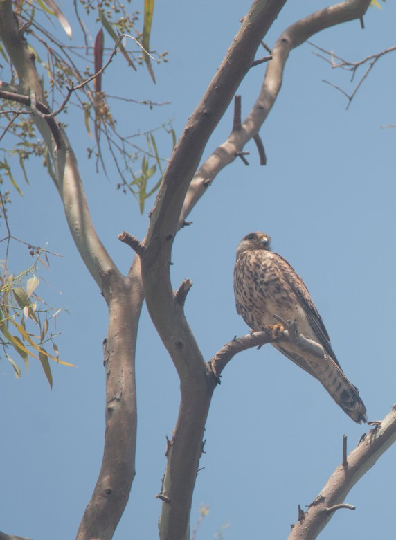 Lauku piekūns (Falco tinnunculus)